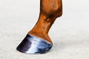 Horse leg with hoof close-up.