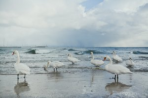 Swans at winter sea beach