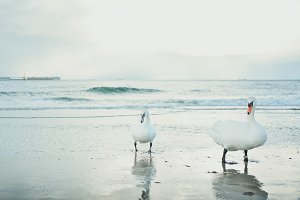 A couple of swans on the beach
