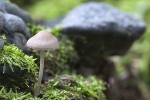 Mycena galericulata mushroom