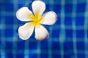 plumeria frangipani flower in swimming pool