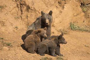 Bear looking after her cubs.