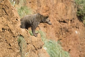 Big brown bear climbing a cliff.