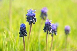 Blue flowers Hyacinths