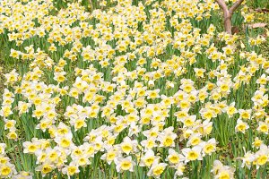 Field of yellow narcissuses