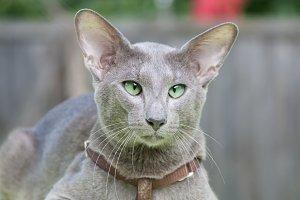 Oliental cat