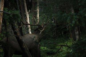 Elk // CO