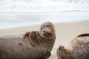 La Jolla Seals // CA