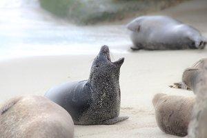 Baby Seal // CA