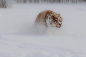 Snow Aussie 3