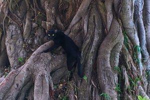Black Cat Climbing an Ancient Tree