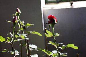 red rose backlit, in garden