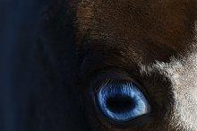 Blue eye of American miniature horse