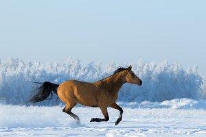 Horse gallops across snowy field