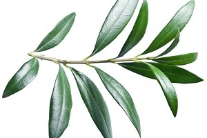 Olive twig on a white