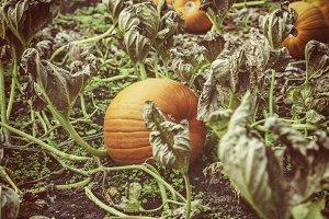 Home grown fall pumpkins