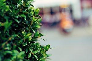 green boxwood