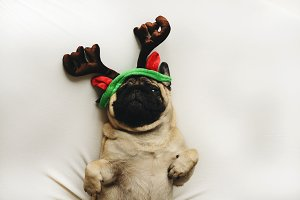 Pug dog in Christmas costume