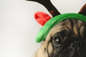 Pug portrait in Christmas costume