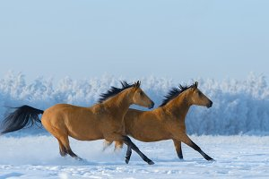 Two free horses gallops