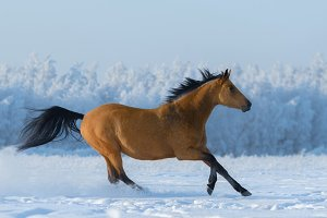Free mustang in snowy field