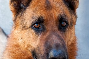 Brown German Shepherd Dog