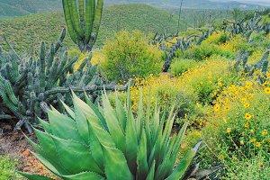 Baja Mexico Cactus Landscape