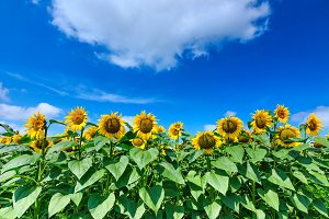 Sunflowers with cloudy sky