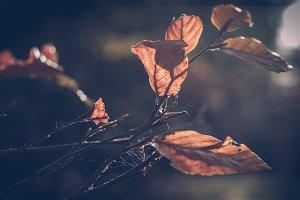 Fall Leaves (Vintage Edition)