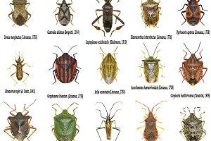 Set of True Bugs of Europe