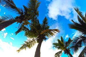 Coconut trees of Hawaii
