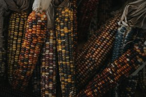 Multicoloured Corn Stock Photo
