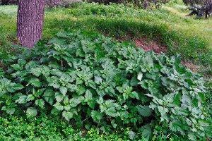 Stinging Nettle Plants