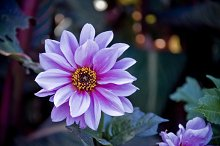 Purple Flower in Evening Light