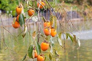 Persimmon tree with ripe fruits in the park, South Korea