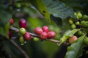 Gayo coffee