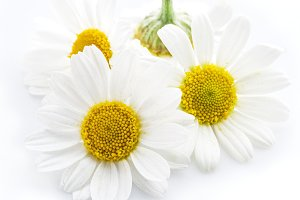 Chamomile flowers on a white.