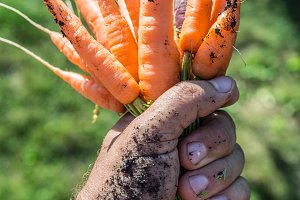 Carrots in man's hand.