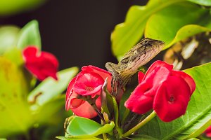 Oriental garden lizard on Euphorbia Beautiful Flower in Thailand