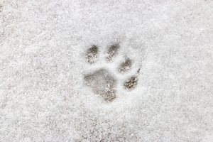 cat footprint on snow close-up