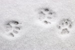 three cat footprints in the snow