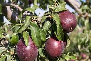 Red pears on the tree