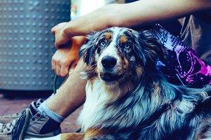 dog Australian Shepherd