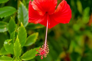 big red hibiscus flower on the green leaves background