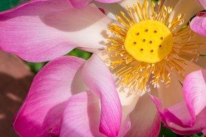Close up of lilac lotus flower blossom