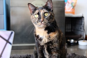 Inquisitive Tortoiseshell Cat