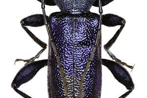 Violet Longhorn Beetle