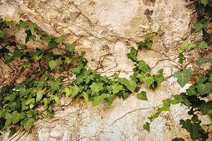 Ivy Leaves on Old Vintage Wall
