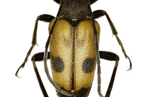 Speckled Longhorn Beetle