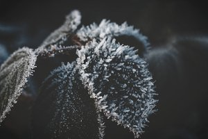 Frozen Leaf in Winter